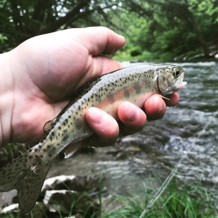 Small Stream Wild Rainbow! Do they get prettier than this?