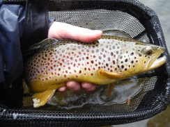 """Fat 17"""" Brown from the Battenkill in January!"""