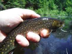 Beautiful Brookie